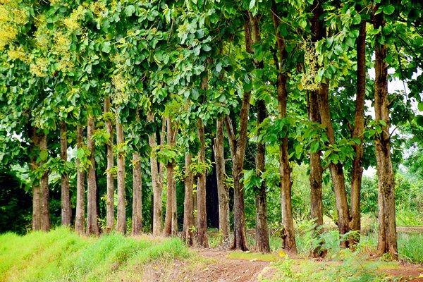 Teak-Holz Waldstück
